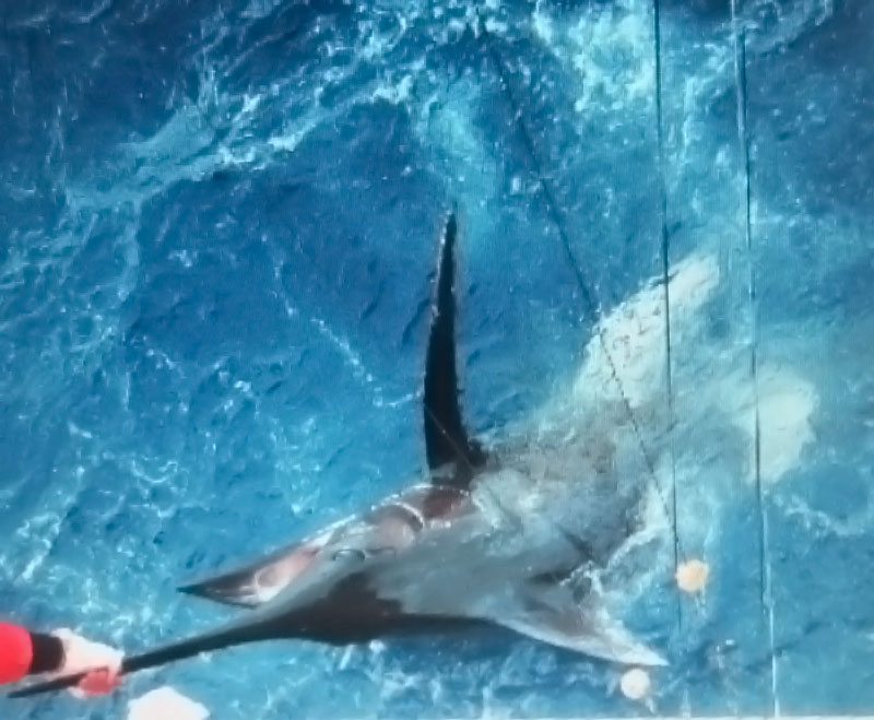 This 350 pound marlin was caught by Jake in the Gullfstream off of Hatteras NC.