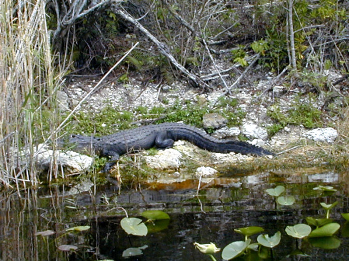Florida Everglades provides some great bass fishing but there are many observers along the shorelines.